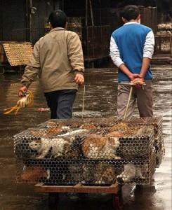 china-schlachtet-tausende-katzen-fur-olympia